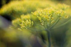 Flor del hinojo Fotos de archivo libres de regalías