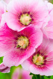 Flor del Hollyhock Foto de archivo