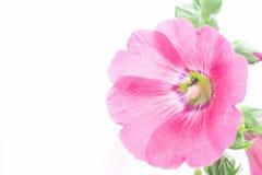 Flor del Hollyhock Fotos de archivo