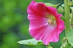 Flor del Hollyhock imagen de archivo