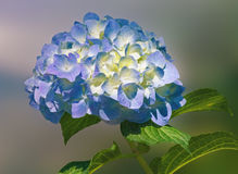 Flor del Hortensia Fotos de archivo libres de regalías
