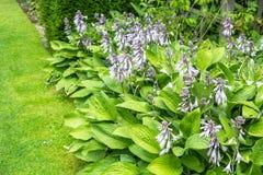 Flor del Hosta, grupo de plantas florecientes Foto de archivo