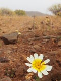 Flor del huevo escalfado Imagenes de archivo