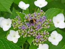 flor del hydrangea con la abeja Foto de archivo libre de regalías