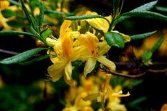 Flor del Hypericum con las gotas de agua encendido en el jardín botánico Foto de archivo