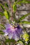Flor del incarnata de la pasionaria Foto de archivo