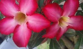 Flor del indonesio Fotos de archivo