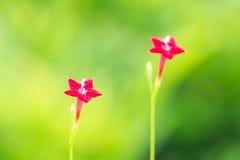 Flor del Ipomoea de estrella Foto de archivo