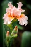 Flor del iris Imagenes de archivo