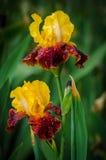 Flor del iris Imagen de archivo