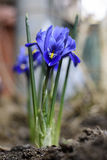 Flor del iris centrada aislada Foto de archivo libre de regalías