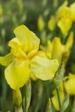 Flor del iris con los pétalos amarillos Imagen de archivo
