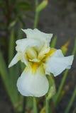 Flor del iris con los pétalos blancos Imágenes de archivo libres de regalías