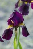 Flor del iris con los pétalos violetas Imagen de archivo