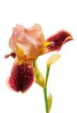 Flor del iris de Borgoña aislada imagen de archivo libre de regalías