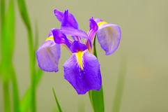 Flor del iris de la primavera Foto de archivo libre de regalías