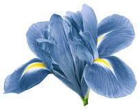 Flor del iris de la turquesa, fondo aislado blanco con la trayectoria de recortes primer Ningunas sombras Para el dise?o foto de archivo