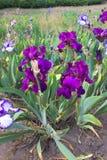 Flor del iris en comienzo del verano Foto de archivo