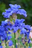 Flor del iris en fondo enmascarado verde Fotos de archivo libres de regalías