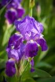 Flor del iris en jardín Imagenes de archivo