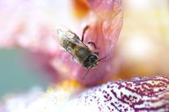 Flor del iris del primer con la abeja El prado adentro puede con la abeja en la flor Foto de archivo libre de regalías