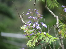 Flor del Jacaranda - Paraty Imagen de archivo