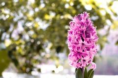 Flor del jacinto Imagenes de archivo