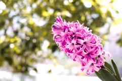 Flor del jacinto Fotografía de archivo