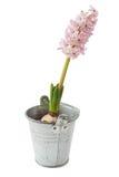Flor del jacinto Fotos de archivo libres de regalías