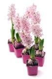 Flor del jacinto Imagen de archivo libre de regalías
