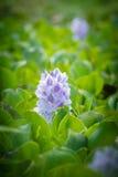 Flor del jacinto de agua Imagen de archivo libre de regalías