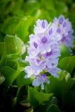 Flor del jacinto de agua Imagen de archivo