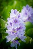 Flor del jacinto de agua Fotografía de archivo libre de regalías