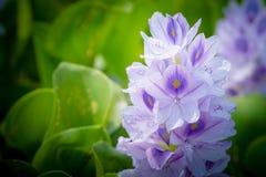 Flor del jacinto de agua Fotos de archivo libres de regalías