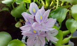 Flor del jacinto de agua Imágenes de archivo libres de regalías