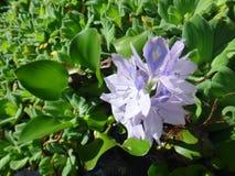 Flor del jacinto de agua o de la orquídea de agua Fotografía de archivo