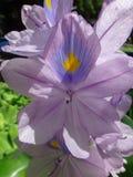 Flor del jacinto de agua o de la orquídea de agua Imagen de archivo libre de regalías