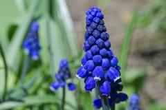 Flor del jacinto de uva Fotografía de archivo