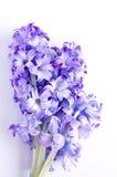 Flor del jacinto en el fondo blanco fotografía de archivo