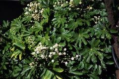 Flor del japonica de Fatsia Imagen de archivo