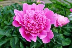 Flor del jardín Imagen de archivo