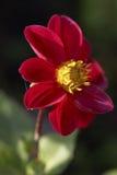 Flor del jardín Fotos de archivo libres de regalías