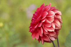 Flor del jardín Fotografía de archivo libre de regalías