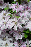 Flor del jardín de Clemtis 'Nelly Moser' Fotos de archivo