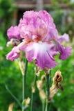 flor del jardín del iris que florece en el jardín, Imagen de archivo