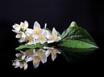 Flor del jazmín Imagen de archivo libre de regalías