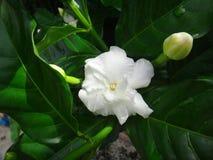 Flor del jazmín común Fotos de archivo