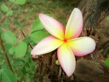 Flor del jazmín con colores vivos imagenes de archivo