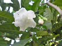 Flor del jazmín de Malabar en un jardín venezolano foto de archivo libre de regalías