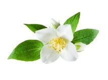 Flor del jazmín en el fondo blanco Imagen de archivo libre de regalías